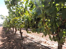 Shiraz Red wine grapes on the vine. Shiraz red wine grapes on a row of vines ready to be picked stock photo