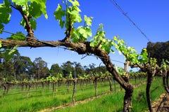 Shiraz Vine. A look down a Shiraz vine stock photo