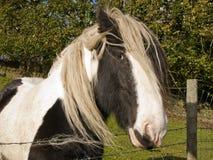 Shire άλογο στοκ εικόνες με δικαίωμα ελεύθερης χρήσης