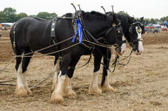 Shire άλογα στον ανταγωνισμό οργώματος στοκ φωτογραφία