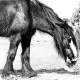 Shire άλογο - Norfolk UK Στοκ Φωτογραφία