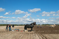 Shire τα άλογα παρουσιάζουν Στοκ Εικόνα