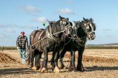 Shire τα άλογα παρουσιάζουν Στοκ εικόνα με δικαίωμα ελεύθερης χρήσης