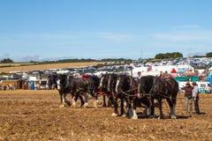 Shire τα άλογα που εργάζονται παρουσιάζουν έδαφος Στοκ Φωτογραφίες