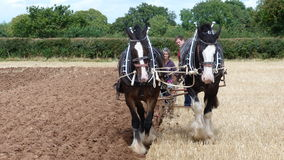 Shire τα άλογα σε μια χώρα εργάσιμης ημέρας παρουσιάζουν στην Αγγλία Στοκ Εικόνες