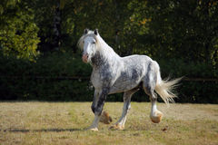 Shire Draft Horse stallion. Galloping in corral Stock Photo