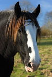 Shire or draft horses head. Beautiful shire or draft horses head with a clear blue sky in a field Royalty Free Stock Photo