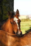 Shire Foal Stock Photography