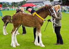 Shire Foal cartmel Show 2011 Royalty Free Stock Photography