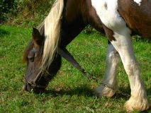 Shire Horse. Close up of shire horse grazing Royalty Free Stock Photography
