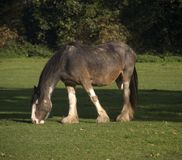 Shire horse. Eating grass in field Stock Images