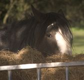 Shire horse. Eating hay in field Royalty Free Stock Image