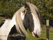 Shire Horse. A beautiful ShireHorse taken in a field in west yorkshire Royalty Free Stock Images