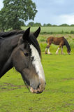 Shire Horse. In field in Peak District National Park Derbyshire England Royalty Free Stock Image