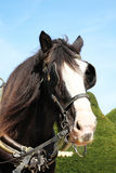 Shire horse. Head of a thoroughbred Shire horse wearing tackle and blinkers Stock Photos