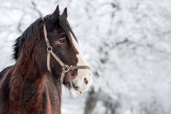 Shire Horse. A shire horse against a snowy white background Stock Photo