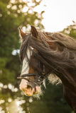 Shire Horse Stock Photography