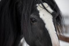 Shire horse. Close-up portrait of a shire horse Stock Images