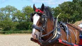 Shire Horse at a Country Show Royalty Free Stock Photos