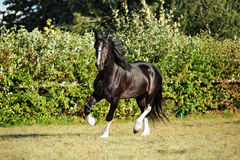 Shire Horse on evening meadow. Black shire horse in the shade of a tree in sunshine on farmland Royalty Free Stock Photo