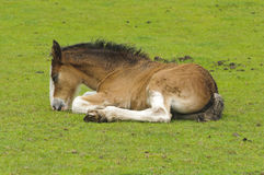Shire Horse Foal Royalty Free Stock Images