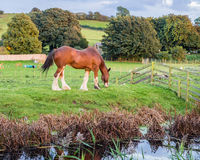 Shire horse. Grazing by the side of the tissused and abandoned Lancaster canal at Tewitfield, Carnforth, Lancashire, UK Royalty Free Stock Photography
