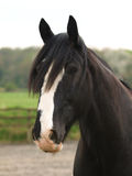 Shire Horse Head Shot Royalty Free Stock Photos