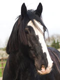 Shire Horse Head Shot. A head shot of a black shire horse with a white blaze Royalty Free Stock Image