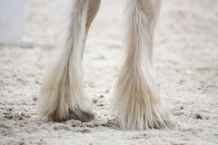 Shire horse legs close up Stock Photography