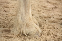 Shire horse legs close up Royalty Free Stock Photography