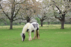 Shire horse in meadow orchard Royalty Free Stock Images