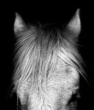 Shire Horse - Norfolk UK. The brow of handsome shire horse in stables - Norfolk UK Royalty Free Stock Photography
