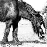 Shire Horse - Norfolk UK. A handsome shire horse feeding in paddock - Norfolk UK Stock Photography