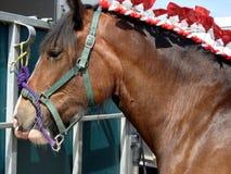 Shire Horse Portrait stock photos
