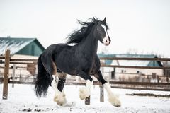 Shire horse. Runs around the snow-covered field Royalty Free Stock Photography