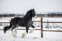 Shire horse. Runs around the snow-covered field Royalty Free Stock Images