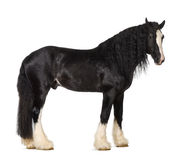 Shire Horse standing. Against white background Royalty Free Stock Image