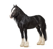 Shire Horse standing Stock Photo