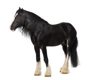 Shire Horse standing Stock Image