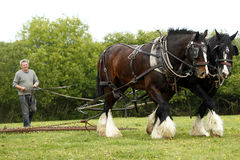 Shire Horse Team Work. Working Shire Horses harrowing a grass field in North Devon Stock Photography