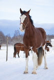 Shire Horse in winter Stock Image
