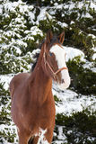 Shire Horse in winter Royalty Free Stock Images