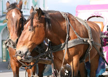 Shire horses. Closeup of two brown shire horses tethered to pink carriage Stock Photo