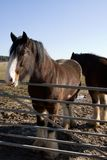Shire Horses 2. Two shire horses by a gate Stock Photos