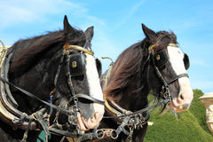 Shire horses. Two thoroughbred Shire horses wearing tackle and blinkers Stock Photography