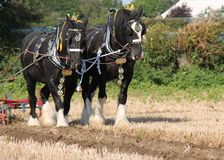 Shire Horses. Two Heavy Shire Horses Pulling a Vintage Plough Royalty Free Stock Photos