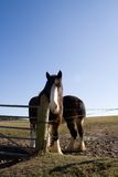 Shire Horses 3. Two heavy horses by a fence stock images
