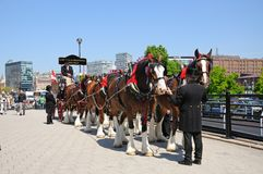 Shire horses and carriage, Liverpool. Stock Image