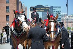 Shire Horses and handlers, Liverpool. Royalty Free Stock Photography