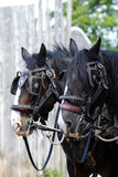 Shire Horses in Harness. Pair of working Shire horses, tacked up ready to work Stock Photo